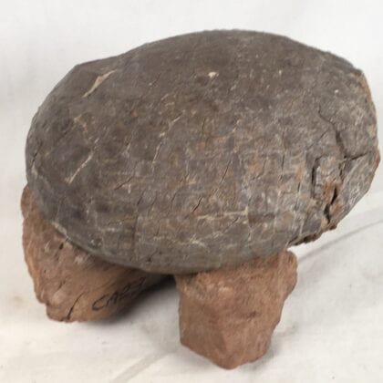 Dinosaur Egg Fossil Real! RARE!!!! Hadrosaurus China Amazing Actual Duckbill Dino Egg!!!!